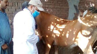 صورة الزراعة: تحصين أكثر من 181 ألف رأس ماشية ضد مرض الحمي القلاعية وحمى الوادي المتصدع في أول يوم للحملة